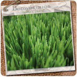 wheatgrass_01